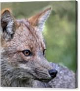 Alert Fox  Canvas Print