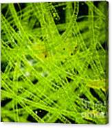 Algae Spirogyra Sp., Lm Canvas Print