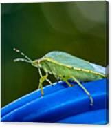 Alice The Stink Bug 2 Canvas Print
