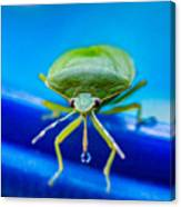 Alice The Stink Bug 4 Canvas Print