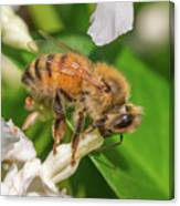 All In, Apis Mellifera Canvas Print
