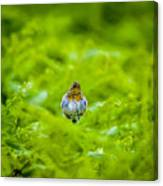 All Puffed Up Canvas Print