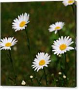 All The Daisies Canvas Print