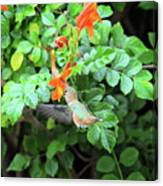 Allen's Hummingbird In Cape Honeysuckle Canvas Print