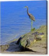 Alligator And Blue Heron Canvas Print