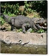 Alligator Surprise Canvas Print