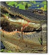 Alligator With Tilapia Canvas Print