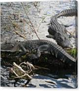 Alligators In An Everglades Swamp Canvas Print