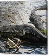 Alligators In An Everglades Swamp Canvas Print