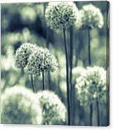 Allium 3 Canvas Print