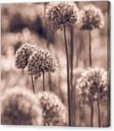 Allium 4 Canvas Print