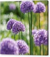 Allium 5 Canvas Print
