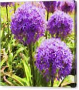Allium Flowers Canvas Print