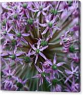 Allium Macro Canvas Print