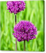 Alliums Canvas Print