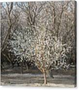 Almond Orchard 1 Canvas Print