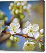 Almond Tree Branch Canvas Print