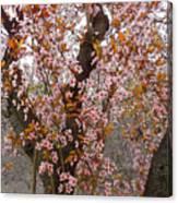 Almond Tree Flowers 05 Canvas Print