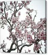Almond Tree In Flower Canvas Print