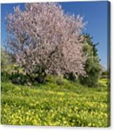 Almond Tree In Meadow Canvas Print