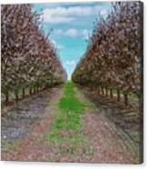 Almond Trees Of Button Willow Canvas Print
