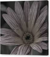 Almost Black And White Pale Pink African Daisy Photograph Canvas Print