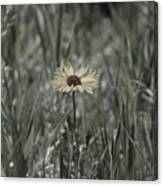 Almost Black and White Yellow Daisy in Field Photograph Canvas Print