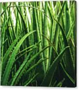 Aloe 5 Canvas Print