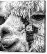 Alpaca Close Canvas Print