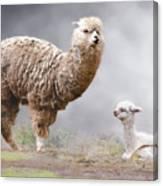 Alpacas Mum And Baby Canvas Print