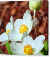 Alpine Pasqueflower Canvas Print