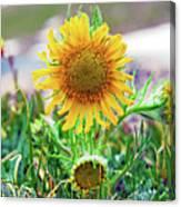 Alpine Sunflower In Summer Canvas Print