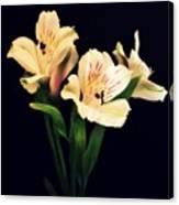 Alstroemeria Sprig Canvas Print