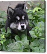 Alusky Pup Peaking Out Of Green Foliage Canvas Print