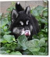 Alusky Puppy Dog Licking The Tip Of His Nose Canvas Print