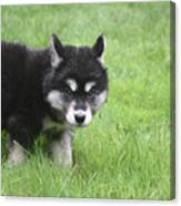 Alusky Puppy Looking Like  He Was Caught Red Handed Canvas Print