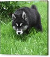 Alusky Puppy Stalking Through Tall Green Grass Canvas Print