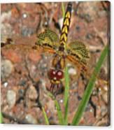 Amanda's Pennant Dragonfly Female Canvas Print