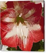 Amaryllidaceae Hippeastrum Stargazeramarylllis Canvas Print