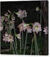 Amaryllis At Night After A Rain Canvas Print