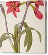 Amaryllis Brasiliensis Canvas Print