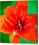 Amaryllis Contrast Orange Amaryllis Flower Appearing To Float Above A Deep Green Background Canvas Print