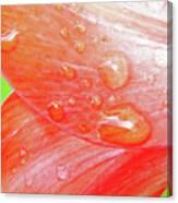 Amaryllis Dew Drops Canvas Print