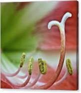 Amaryllis Flower Canvas Print