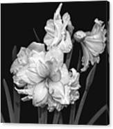 Amaryllis In Black And White Canvas Print