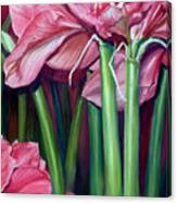 Amaryllis In Bloom Canvas Print
