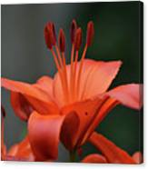 Amazing Blooming Orange Lilies Flowering In A Garden  Canvas Print