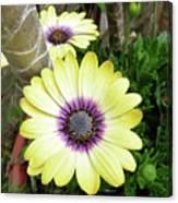 Amazing Daisy  Canvas Print