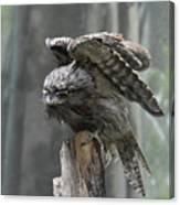 Amazing Frogmouth Bird With His Wings Extended Canvas Print