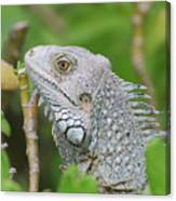 Amazing Gray Iguana Sitting In The Top Of A Bush Canvas Print